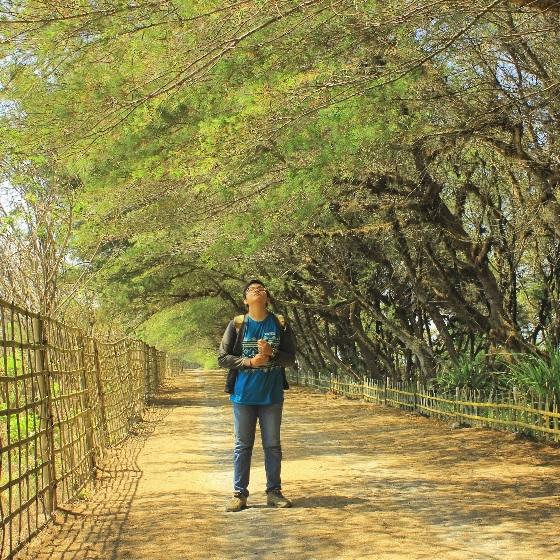 Pohon Cemara Pantai Kuwaru