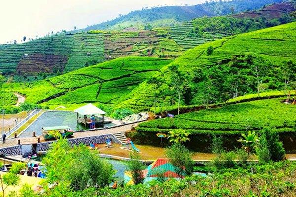 Desa Wisata Nglinggo, Wisata Kebun Teh di Jogja